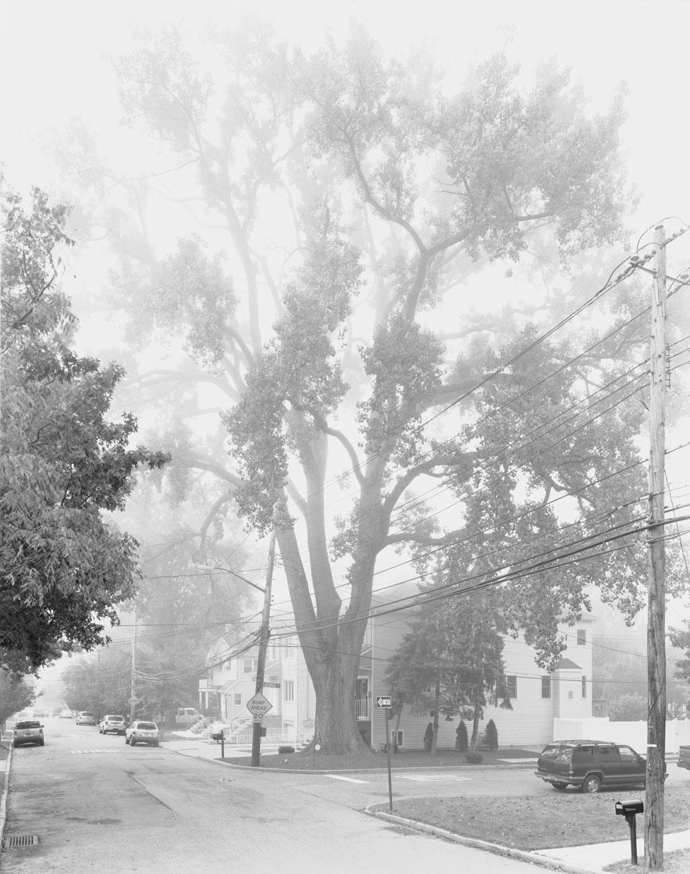 Eastern Cottonwood Tree, Staten Island II, 2011
